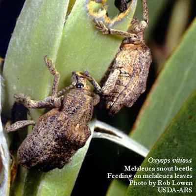 Figure 3.Dos adultos del picudo de la melaleuca, Oxyops vitiosa (Pascoe), alimentándose de las hojas de melaleuca.