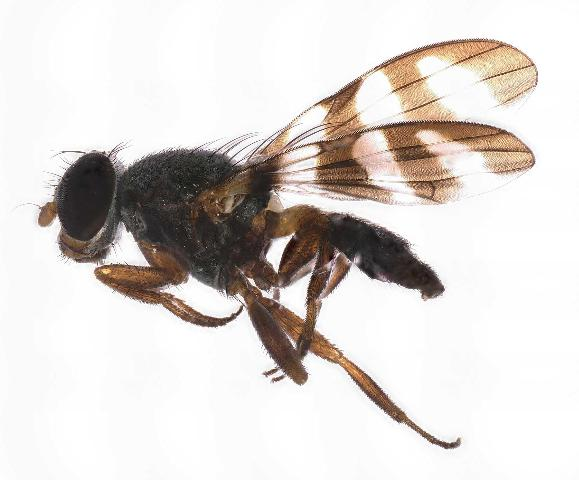 Figure 37. Euxesta abdominalis Loew, a picture wing fly found visiting pitaya flowers. Identified by G. Steck, 31 May 2019.