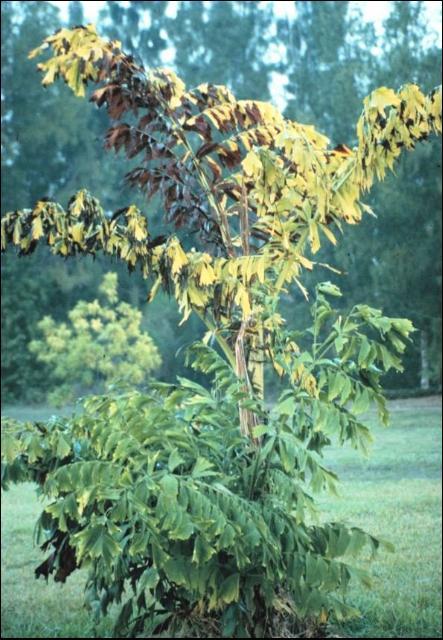Figure 6.Foliar yellowing symptoms of Lethal Yellowing on Caryota mitis.