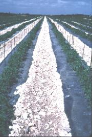 Figure 3.Tomatoes growing on plastic mulch on rockland soil in Miami-Dade County.