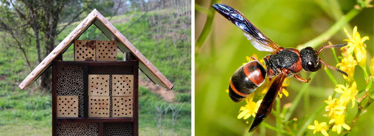 Figure 5.(Top) An example of a pollinator nesting box that will support native bees and predatory and parasitic wasps that attack golf course pests. (Bottom) Red and black mason wasp (Pachodynerus erynnis) is a predatory wasp that specializes on caterpillars as prey.