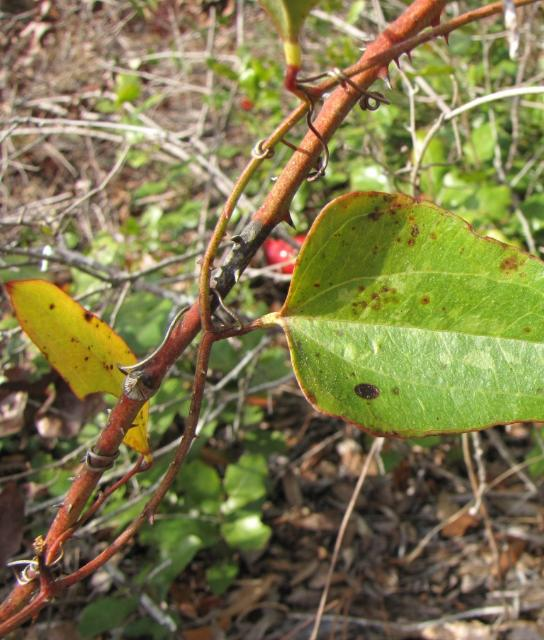 Figure 2. Mature stems of Smilax auriculata are pinkish, purplish, or pinkish-orange in color.