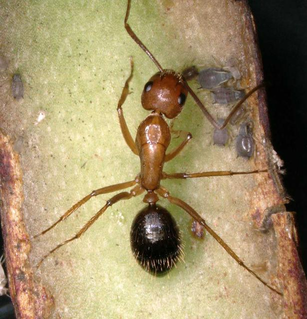 Figure 14. An ant tending an aphid colony.