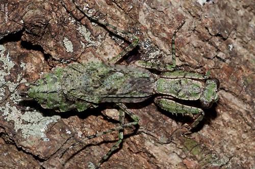 Figure 1.Adult Gonatista grisea (Fabricus) on a tree trunk.