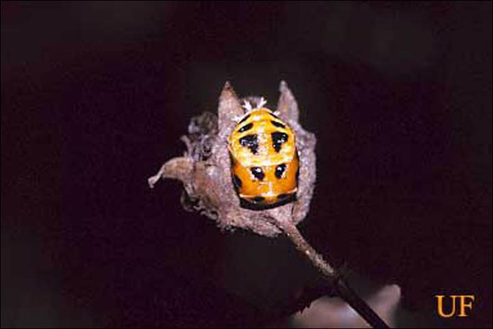 Figure 7. Pupa of the multicolored Asian lady beetle, Harmonia axyridis Pallas.