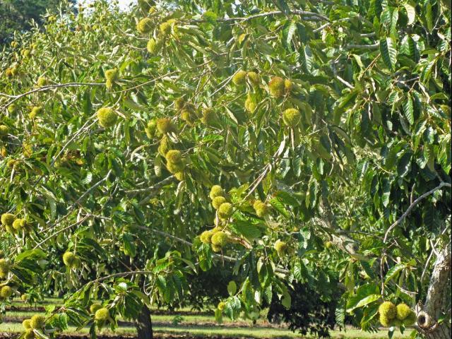 Figure 6.Chestnut burrs developing near harvest season.