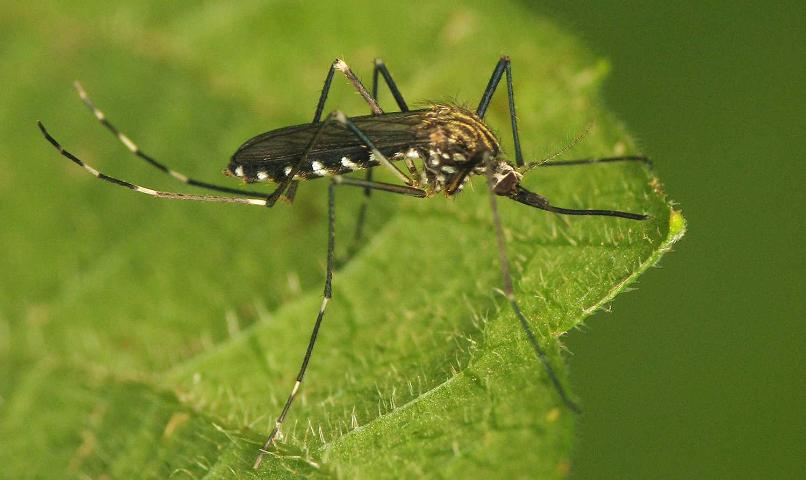 Figure 1.Adult female Aedes japonicus (Theobald) with golden stripes on scutum (dorsal area of thorax).