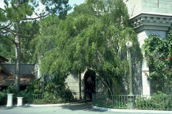 weeping-yaupon-holly-tree
