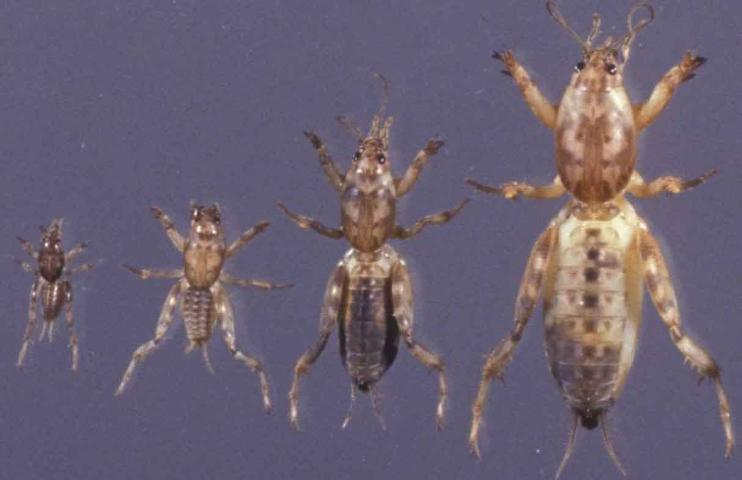 Figure 7.Shortwinged mole cricket nymphs (note the lack of adult wings).