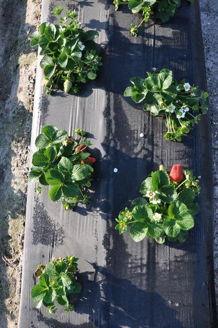 Figure 1.Drip irrigation applied at the surface for strawberry production.