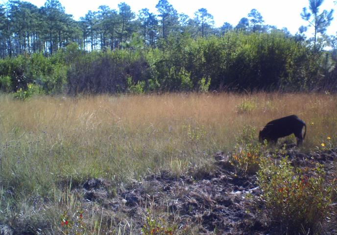 Figure 6.Feral hog rooting in a seepage slope on Eglin Air Force Base.