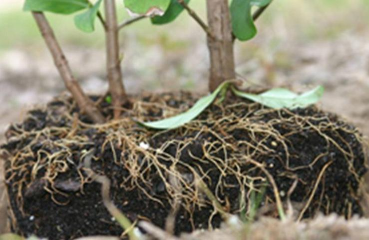 Figure 6.The top of the rootball should be positioned about an inch above the surrounding soil surface.