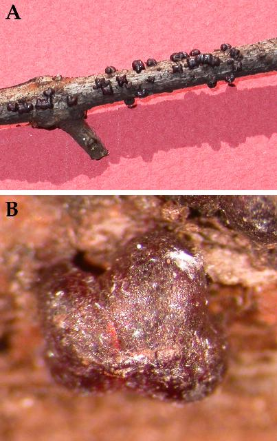 Figure 19.A) The lobate lac scale, Paratachardina pseudolobata, on a guava stem. B) A close up of the lobate lac scale, Paratachardina pseudolobata.