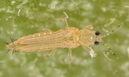 Eeny639 In1110 Florida Flower Thrips Suggested Common Name Frankliniella Bispinosa Morgan Insecta Thysanoptera Thripidae