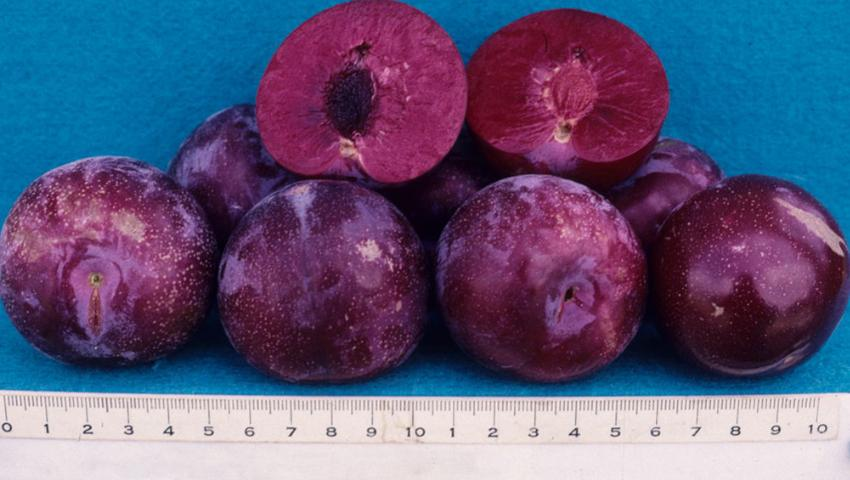 Figure 8.'Gulfrose' fruit showing flesh color and pit freestone.