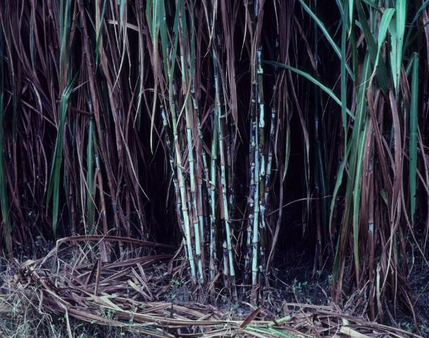 Figure 3.Hardened stalks of elephantgrass used for propagation.