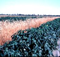 Figure 8.Rye windbreaks provide wind protection for early spring crops in central and north Florida.