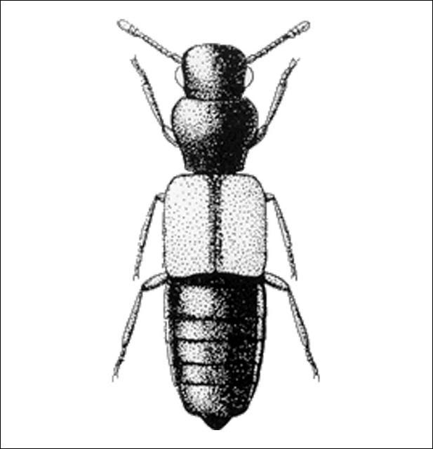 Figure 8.Hypotelus hostilis (Piestinae) 1.9 mm.
