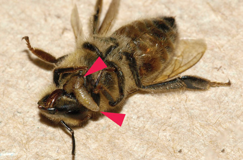Figure 2. Two final instar larvae of Apocephalus borealis exiting a honey bee worker at the junction of the head and thorax (the larvae are arrowed).