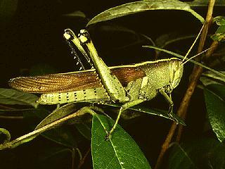 Figure 5.Obscure grasshopper, Schistocerca obscura (Fabricius).