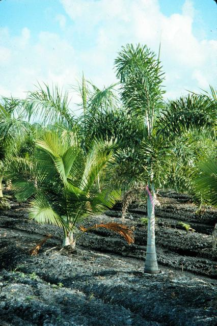 Figure 1. Palms interplanted in a South Florida field nursery.