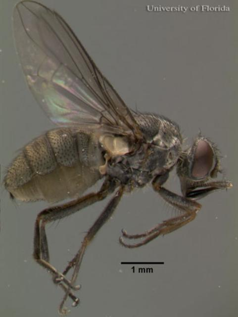 Figure 2. Lateral view of an adult horn fly, Haematobia irritans irritans (Linnaeus).