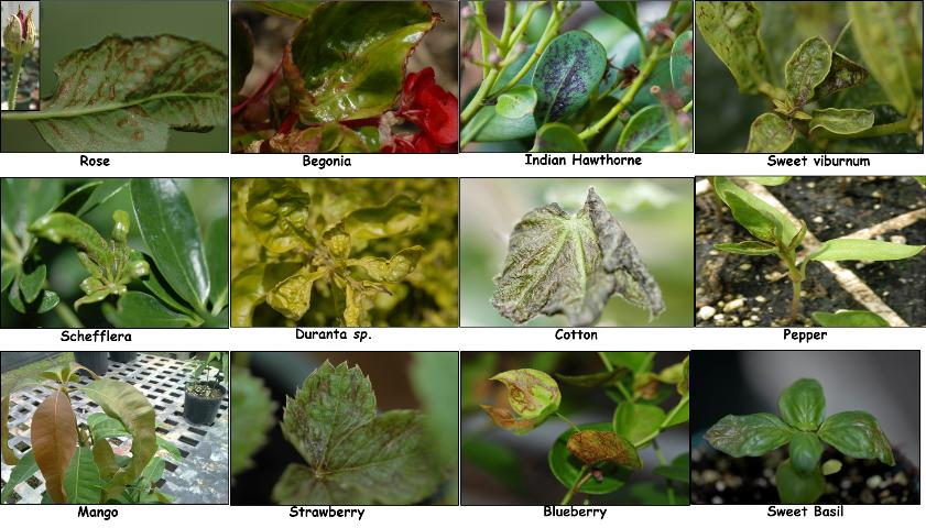 Figure 4. Chilli-thrips-associated damage on different hosts in Florida.