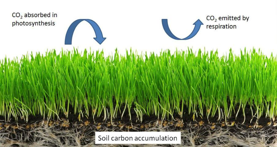 Figure 1.Simplified carbon cycle diagram. While CO2 is removed from the atmosphere and incorporated into plant tissue via photosynthesis, it can also be re-emitted back to the atmosphere as plant (autotrophic) and soil microbial respiration (heterotrophic). The balance between carbon inputs and outputs determines the amount of carbon sequestered in the soil.