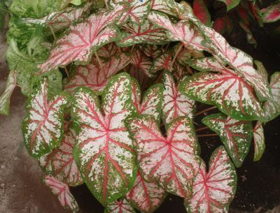 Figure 1. Plants of Tapestry™ caladium forced from tubers in a 10-inch container under approximately 60% shade.