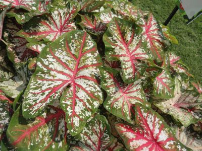 Figure 2. Plants of Tapestry™ caladium grown in ground beds in full sun.
