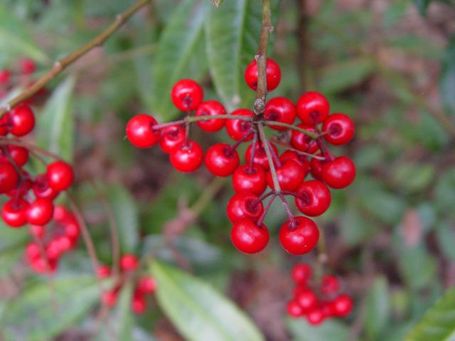 Figure 4. Coral ardisia has bright red berries. It is thought that livestock died after consuming the berries in 2001 and 2007 in Florida.