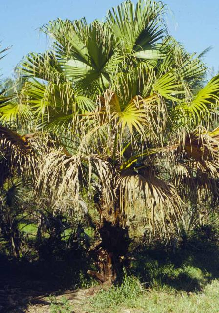 Figure 7. Chinese fan palm dying from lethal yellowing.