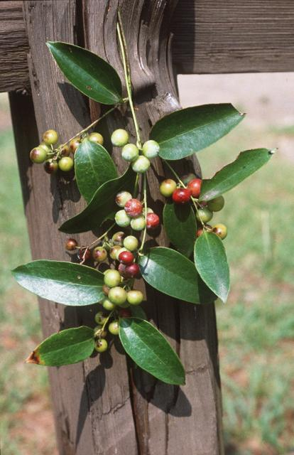 Figure 11. The leaves of Smilax smallii are lanceolate.