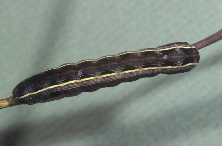 Figure 4. Dorsal view of a larva of the yellowstriped armyworm, Spodoptera ornithogalli (Guenée).