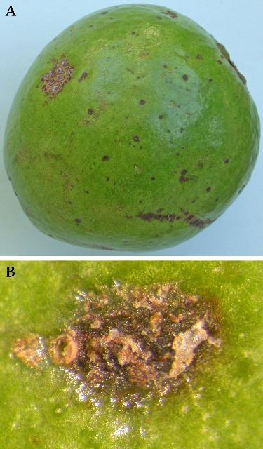 Figure 13.A) Leaffooted bug damage to guava. B) Close up of leaffooted bug damage to guava fruit.