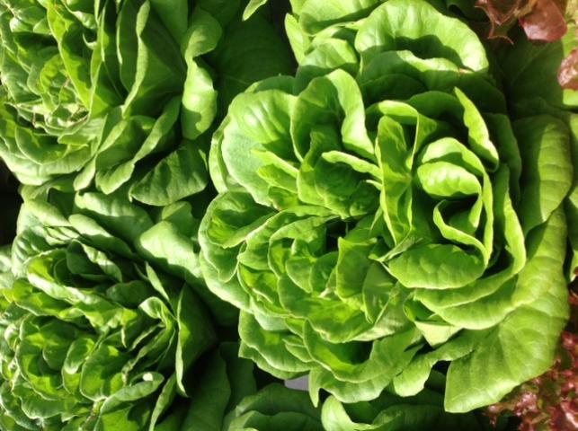 Figure 7.Butterhead/Bibb lettuce