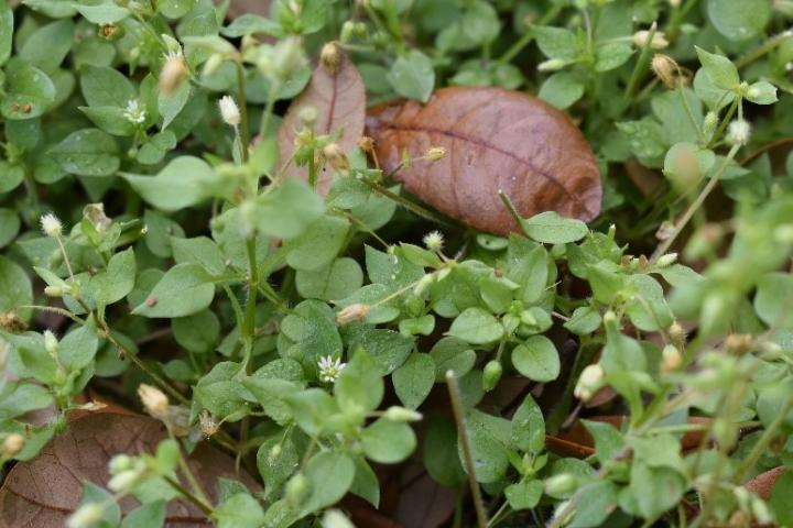 Figure 3. Stellaria media leaves. Note the smooth, ovate, and sharp tip.