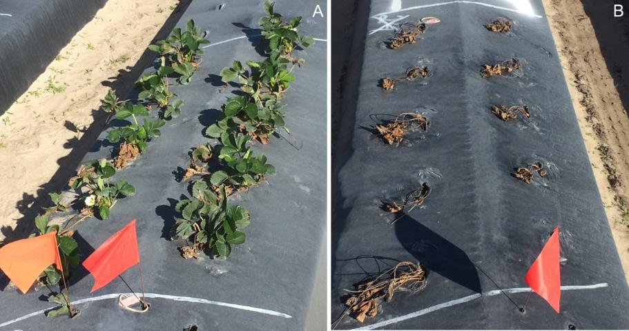 Figure 3. 'Florida 127' Sensation™ plants inoculated with a mixture of sensitive and resistant isolates of P. cactorum and planted after being steam-treated at 37°C (98.6°F) for 1 hour followed by 44°C (111.2°F) for 4 hours (A), or not steam-treated (B).