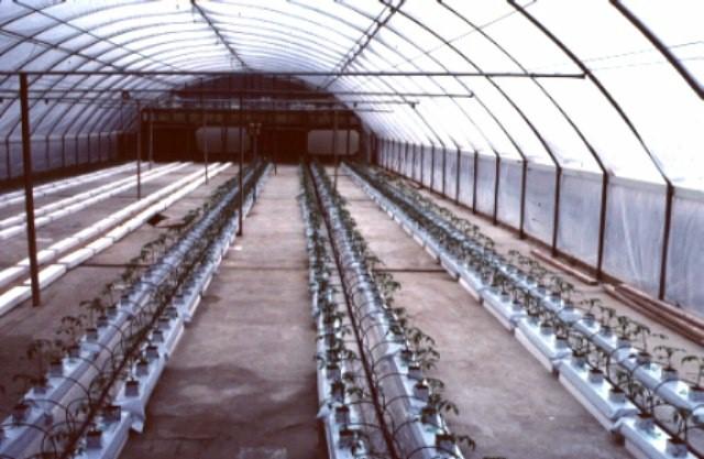 Figure 2.Newly transplanted tomatoes.