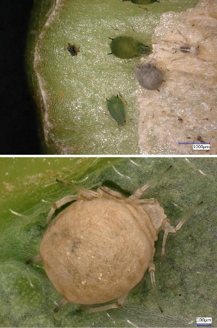 Figure 15. Top, an aphid that has mummified after an attack by a hymenopteran parasitoid next to live aphids; bottom, close-up of mummified aphid.