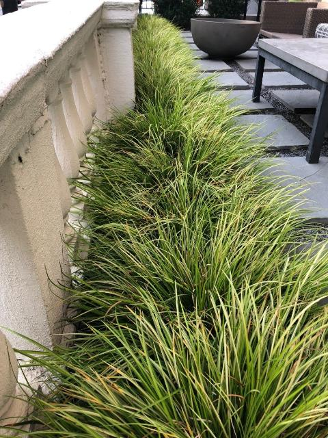 Figure 5.Sweetflag (Acorus) used as an accent in a narrow planting bed to soften the transition between a patio and decorative wall