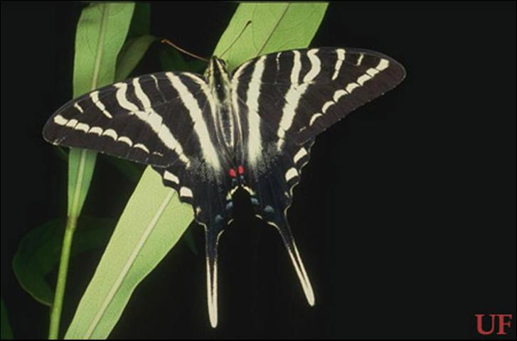 Figure 1. Zebra swallowtail, Protographium marcellus (Cramer), with wings spread.