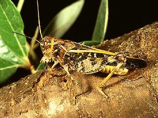 Figure 6.Wrinkled grasshopper, Hippiscus ocelete (Scudder).