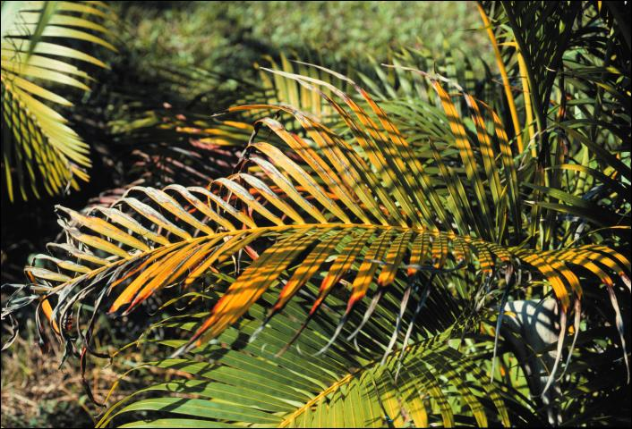 Figure 4. Potassium-deficient older leaf of Dypsis lutescens (areca palm) showing discoloration and marginal and tip necrosis.