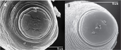 Figure 7. Scanning electron microscopy of the nematode frontal-view is required to separate Pratylenchus hippeastri from Pratylenchus scribneri. A: The oral disc of Pratylenchus scribneri is divided. B: the oral disc of Pratylenchus hippeastri is fully fused. Adapted from Inserra et al., 2007 and De Luca et al., 2010.
