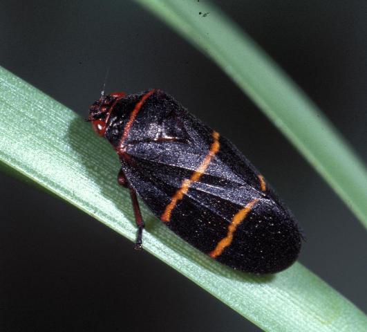 Figure 21.Two-lined spittlebug adult.