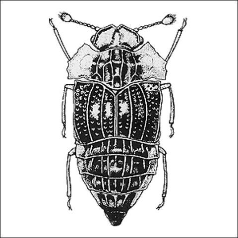 Figure 3.Peplomicrus sp. (Micropeplinae) 2.0 mm.