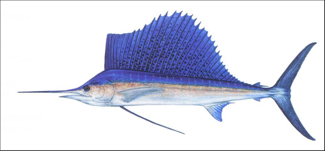 Figure 4.Sailfish.