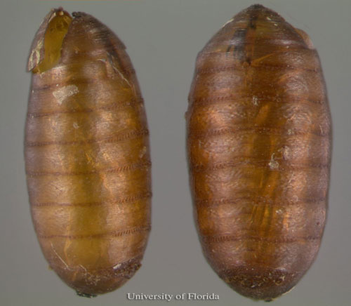 Figure 6. Empty pupal cases of the horn fly, Haematobia irritans irritans (Linnaeus). See a adult emergence hole in the upper left.