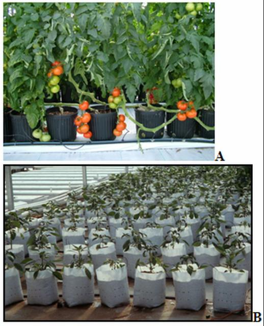 Figure 2.Tomatoes growing in media-filled, plastic nursery pots (A) and in upright bags (B) in a greenhouse in Wellborn, FL, in 2001.